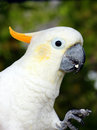Got nosh friendly cockatoo who may be willing to share some of his snack Royalty Free Stock Photography