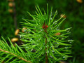 Gotas de lluvia en agujas del pino Fotos de archivo