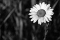 Gotitas de agua en daisy flower black and white Imagenes de archivo