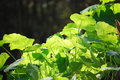 Gotu kola group of leaves Stock Images