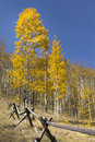 Gouden gele autumn aspen trees along split rail logboekomheining Stock Fotografie