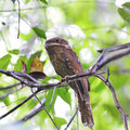 Gould's Frogmouth Royalty Free Stock Photo