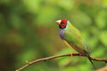 Gouldian finch Royalty Free Stock Photo