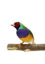 Gouldian finch on white background erythrura gouldiae in front of a Royalty Free Stock Photos