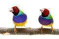 Gouldian finch on white background erythrura gouldiae in front of a Stock Photo