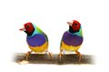 Gouldian finch on white background erythrura gouldiae in front of a Stock Images