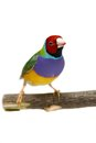 Gouldian finch on white background erythrura gouldiae in front of a Royalty Free Stock Photo