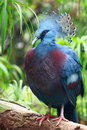 Goura Victoria (Victoria Crowned Pigeon) Royalty Free Stock Image
