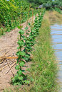 Gourd farm and watering canal Royalty Free Stock Images