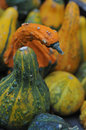 Gourds close up image of green orange and yellow Stock Photography