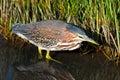 Grön Heron Royaltyfria Foton