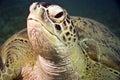 grön mydassköldpadda för chelonia Royaltyfria Foton
