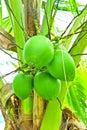 Grüne Kokosnüsse Lizenzfreies Stockbild