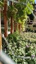 Grüne traubenrebe Stockfotos