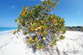 Manchineel tree on Grace Bay beach Royalty Free Stock Photo