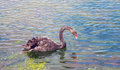 Graceful black swan swimming in a pond closeup Stock Images