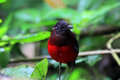 Graceful pitta erythropitta venusta in sumatra indonesia Stock Photos