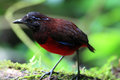 Graceful pitta erythropitta venusta in sumatra indonesia Royalty Free Stock Photography