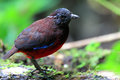 Graceful pitta erythropitta venusta in sumatra indonesia Royalty Free Stock Image