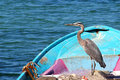 A graceful sea bird heron rests in a blue fishing boat with fishing nets on Sea of Cortez in Mexico. Royalty Free Stock Photo