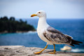 Graceful Seagull Royalty Free Stock Photography