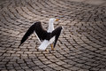 Graceful seagull walking on stockholm cobbled street sweden Royalty Free Stock Photography