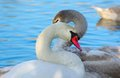 Graceful swans beautiful with long necks on blue water background close up Stock Photo