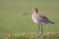 Graceful wader on a meadow black tailed godwit limosa limosa just returned for this season and walks elegant farmland with Royalty Free Stock Photos