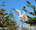 Graceful white seagull in flight against a backdrop of pine trees is chasing piece bread thrown to it by swimmer at Royalty Free Stock Images