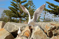 Graceful white seagull in flight against a backdrop of pine trees and rocks is chasing piece bread thrown to it by Stock Image