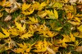 Graceful yellow fall leaves of Acer saccharinum on the green grass. Nature concept Royalty Free Stock Photo