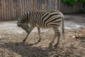 Graceful zebra posing for photos Royalty Free Stock Photos