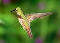 Gracious Hummingbird Flight Royalty Free Stock Photo