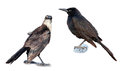 Grackle Royalty Free Stock Image