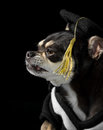 Graduation Dog Close Up Profile View Royalty Free Stock Images