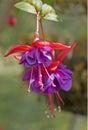 Graf Wittle Fuchsia Royalty Free Stock Photo