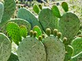 Graffiti Carved on Fruiting Prickly Pear Cactus Leaves, Greece Royalty Free Stock Photo
