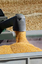 Grain Corn Flowing Into Hopper Stock Images