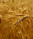 Grain detail Royalty Free Stock Photography