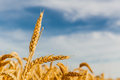 Grain in a farm field Royalty Free Stock Photo