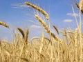 Grain field 10 Royalty Free Stock Photos