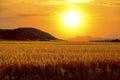 Grain field Royalty Free Stock Photo