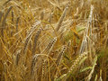 Grain-field Royalty Free Stock Photography