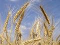 Grain field 6 Stock Image