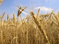 Grain field 7 Stock Images