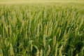 Grain field closeup Royalty Free Stock Photos