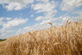 Grain field and cloudy sky Stock Image