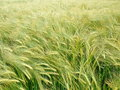 Grain field detail view background Royalty Free Stock Images