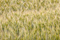 Grain field of before harvest Royalty Free Stock Photos