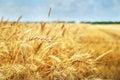 Grain Field. Photo Taken On 01...